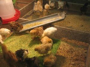 photo of chicken incubator