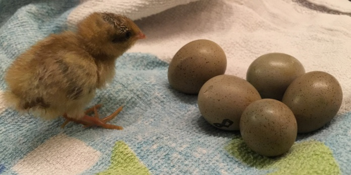 photo of chick and hatching eggs in incubator